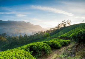 1600685399_290822-Beautiful_Tea_Plantations_in_Kerala-(1).png